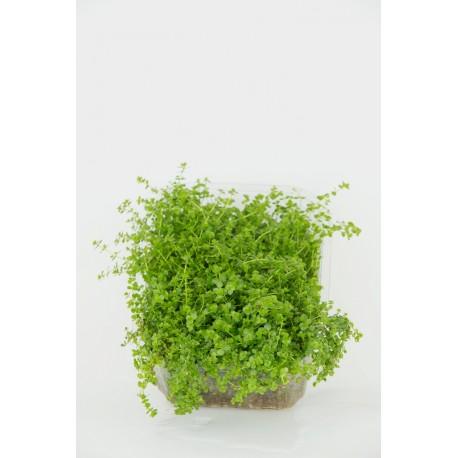 Hemianthus micranthemoides - kobereček