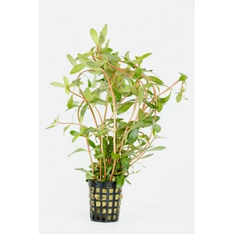 Nesaea pedicellata