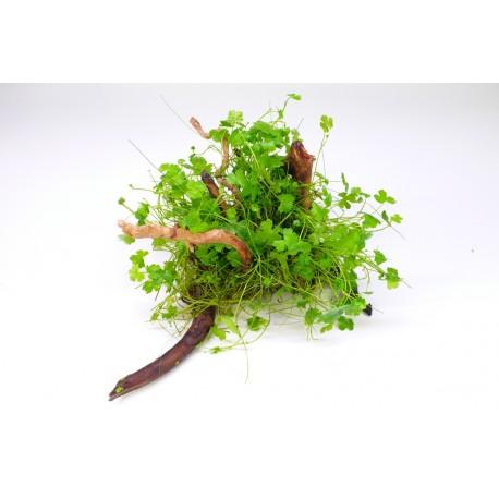 Hydrocotyle japan na kořeni