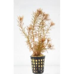 Myriophyllum mattogrosence