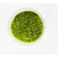 Utricularia graminifolia in vitro