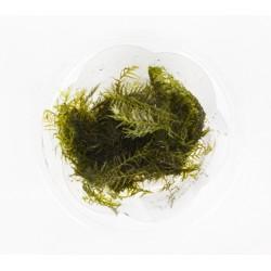 Phoenix moss - Fissidens fontanus