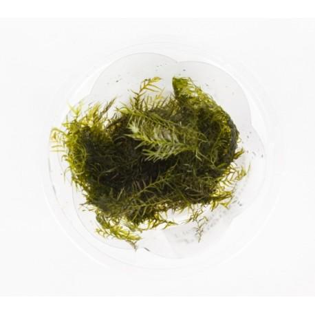 Phoenix moss