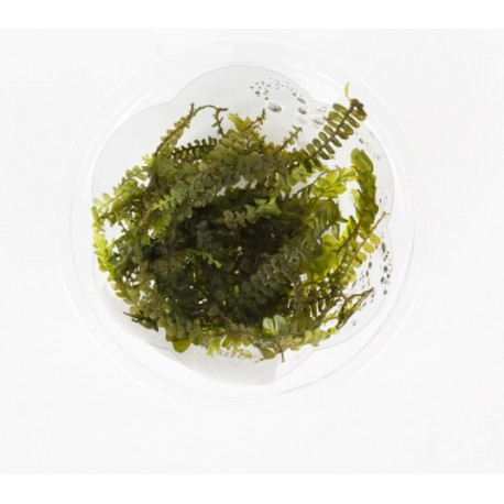 Cameroon moss