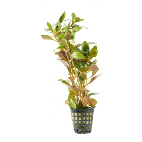 Ludwigia ovalifolia