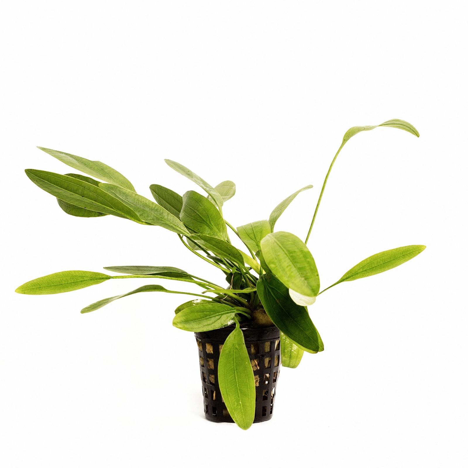 Echinodorus Witin