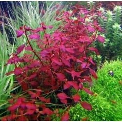 Ludwigia sp. 'Mini Super Red'