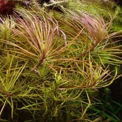 Pogostemon (eustralis) stellatus