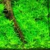Limnophila sp. Mini Vietnam