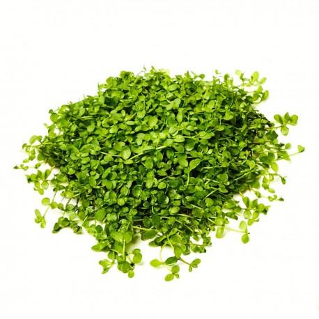 Micranthemum Monte Carlo - kobereček