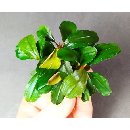 Bucephalandra Broad Leaf