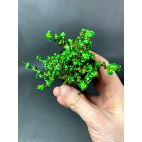 Rotala sp. Pearl
