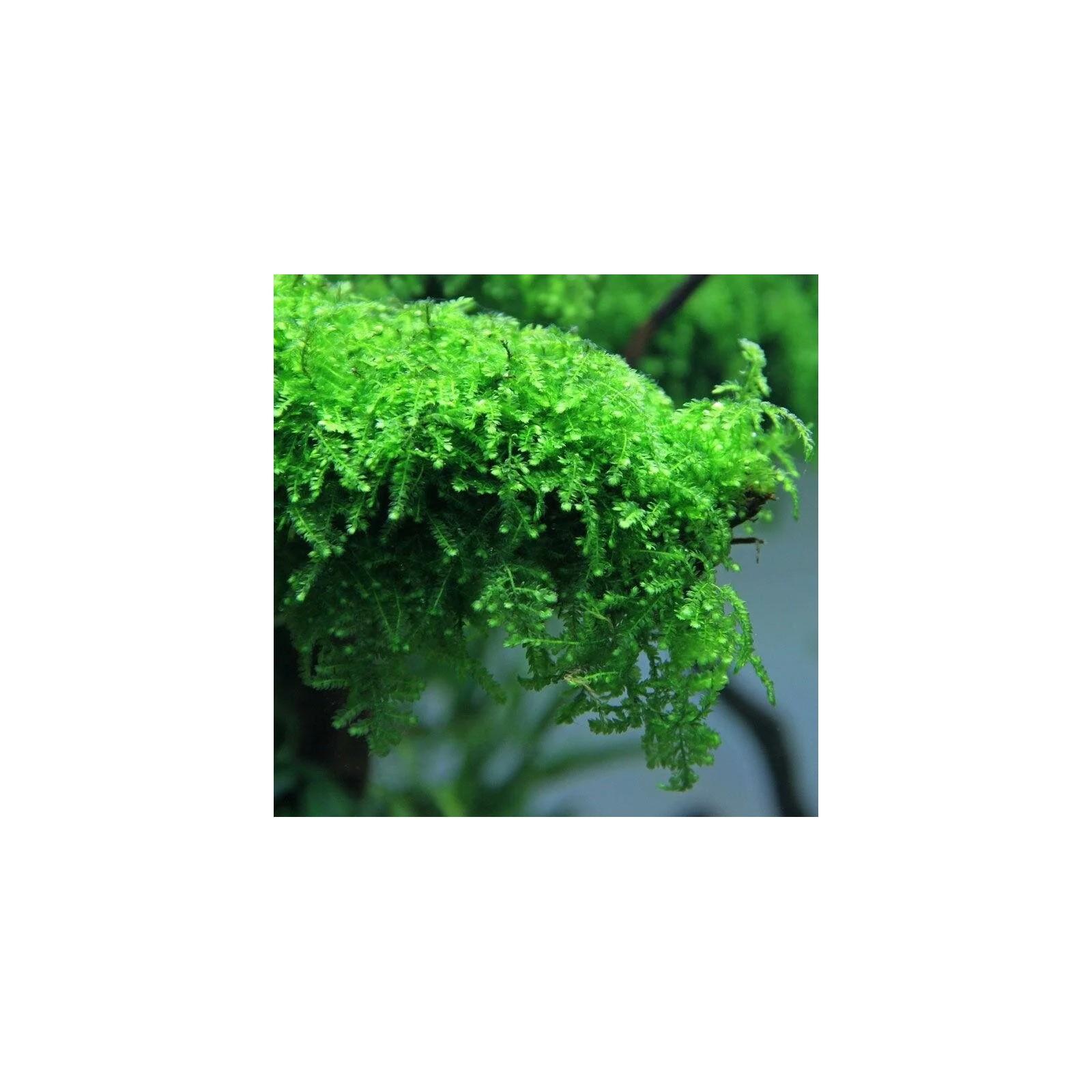 Vesicularia ferriei (Weeping moss)