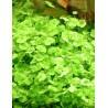 Hydrocotyle dissecta - kobereček