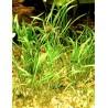 Lilaeopsis novae zelandiae - kobereček