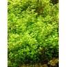 Micranthemum umbrosum - kobereček