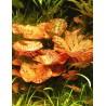 Nymphaea Tiger Lotus