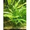 Sagittaria platyphylla